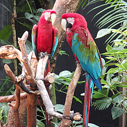Parrots at Bloedel Conservatory