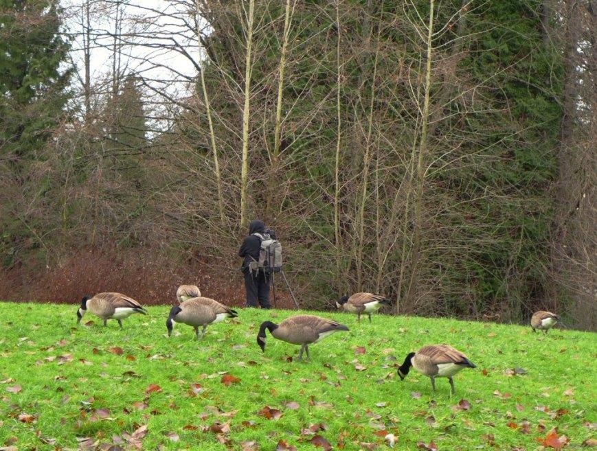 Birder & Canada Geese 15-12 P1170026c