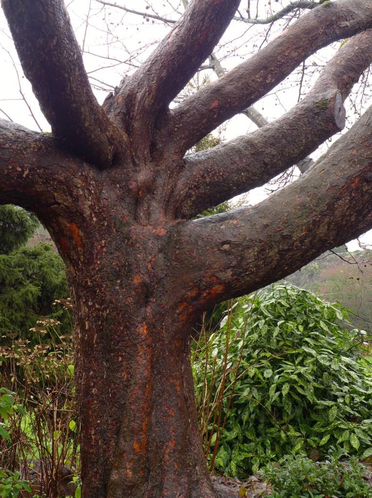 Handkherchief Tree 15-12 P1160941c