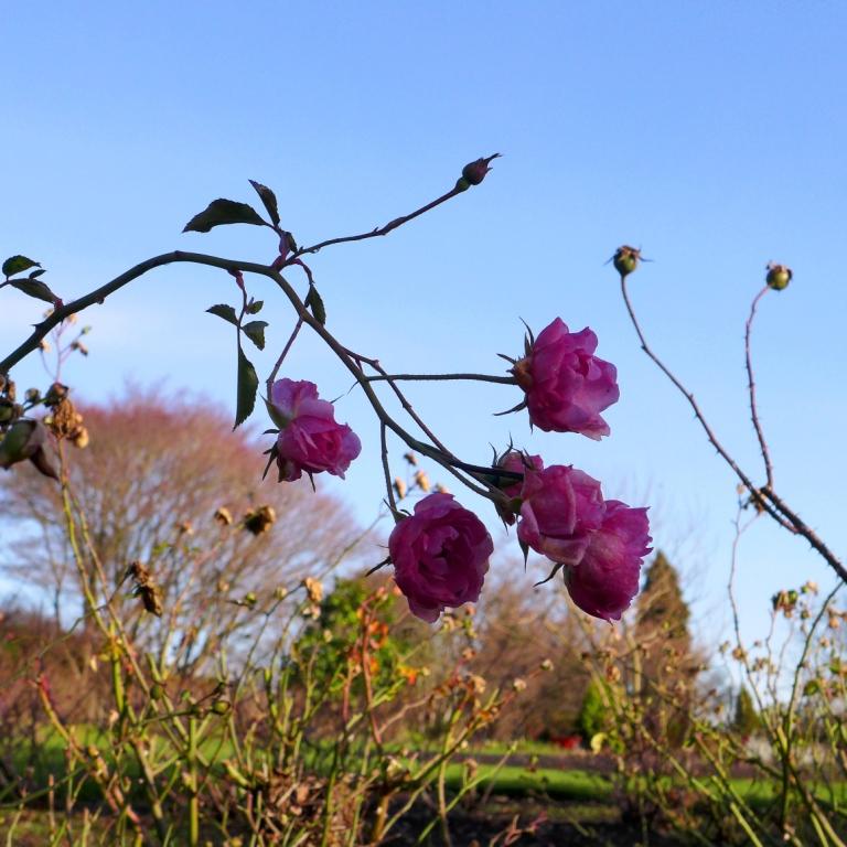 Late bloomer 15-12 P1160896c